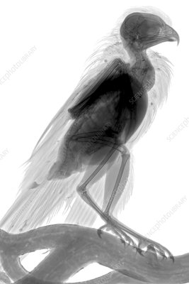 Kestrel, X-ray