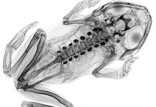 Poison frog, X-ray