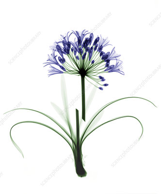 Agapanthus flower, coloured X-ray