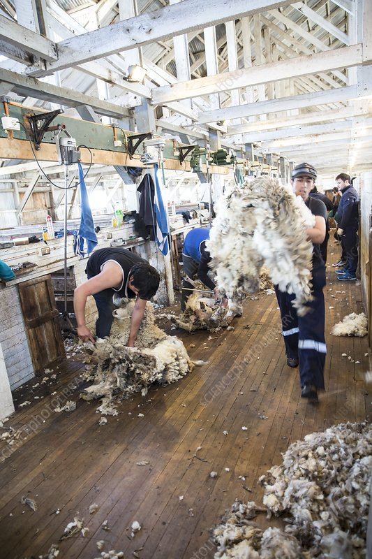 Sheep shearing in Patagonia