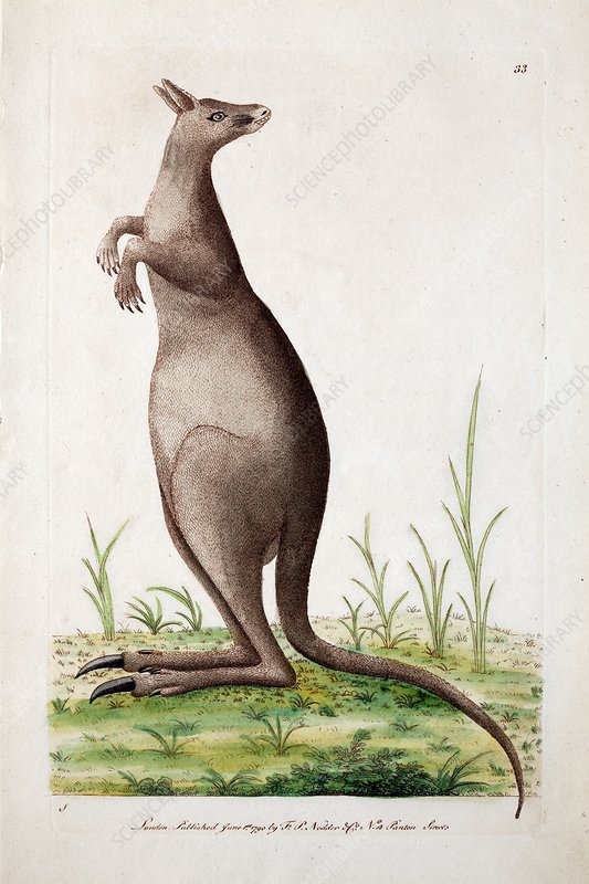 Kangaroo, 1790 illustration