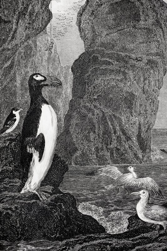 1850 Extinct Great auk near rock stacks