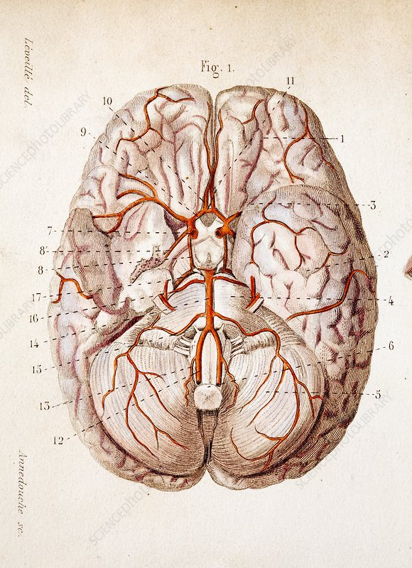 1840 historical image brain blood supply