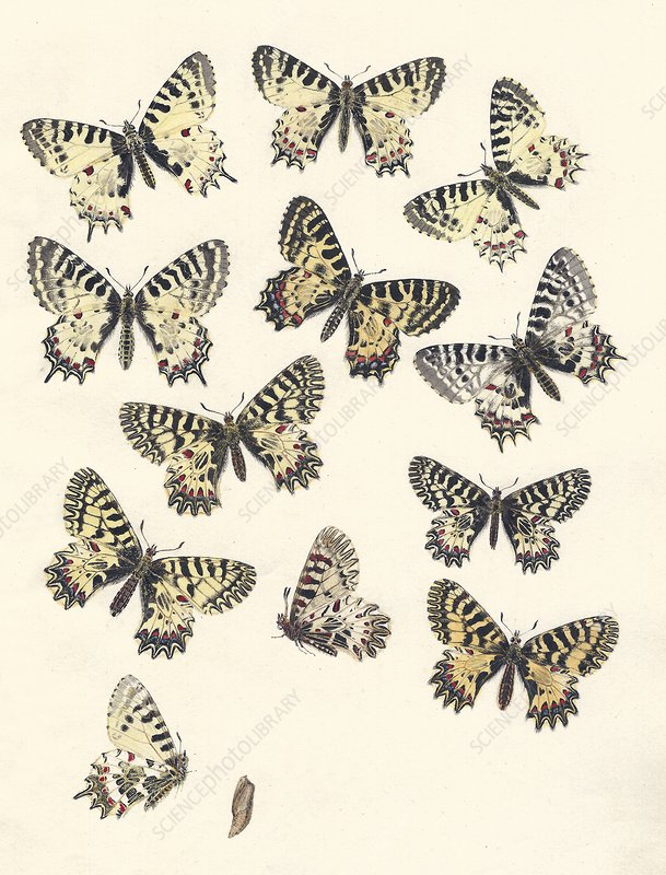 1875 European Festoon butterfly Zerynthia