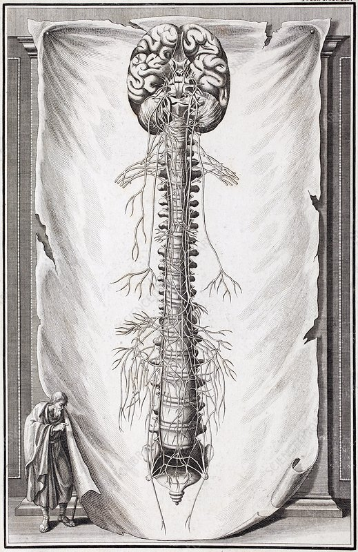 1731 Human brain spine dissection vesling