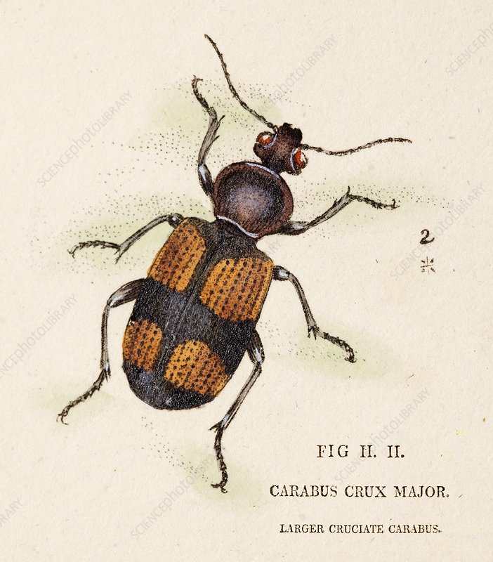 Greater crucifix beetle, 1806