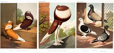 Domestic fancy pigeon breeds, 1874