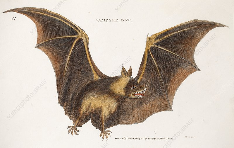 Flying fox fruit bat, 1800s