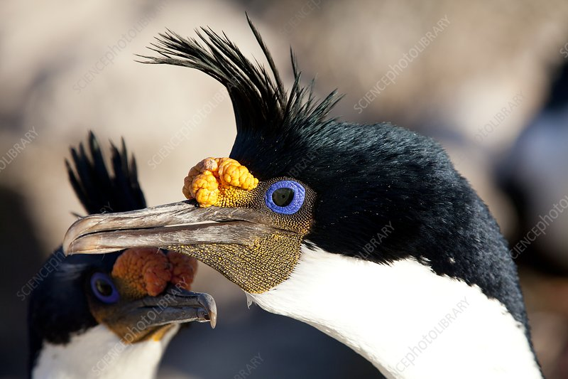Imperial shag in breeding colours