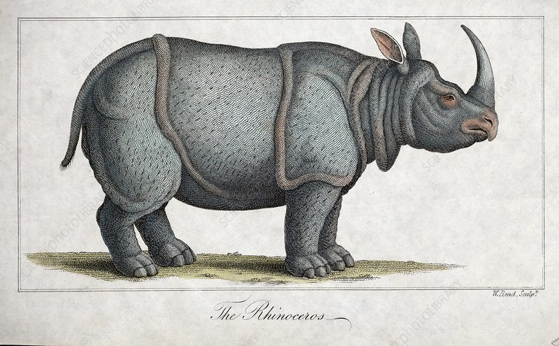 Indian rhinoceros, 1820s
