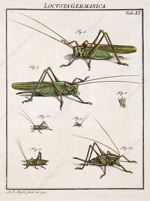 Roesel's bush-cricket, 18th century