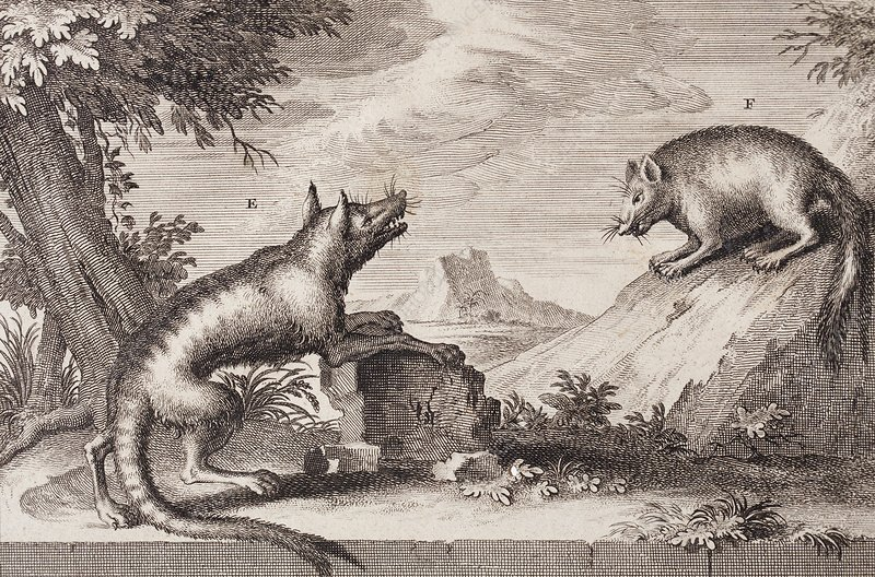 Early Tasmanian wildlife, 1720s