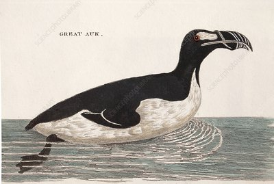 1776 Pennant swimming extinct great auk