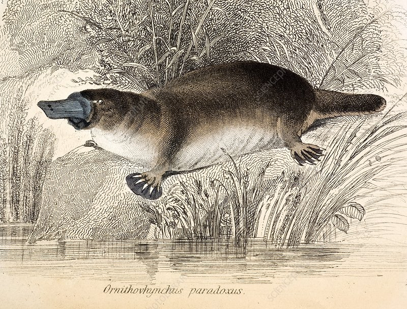 Duck-billed platypus, 1841