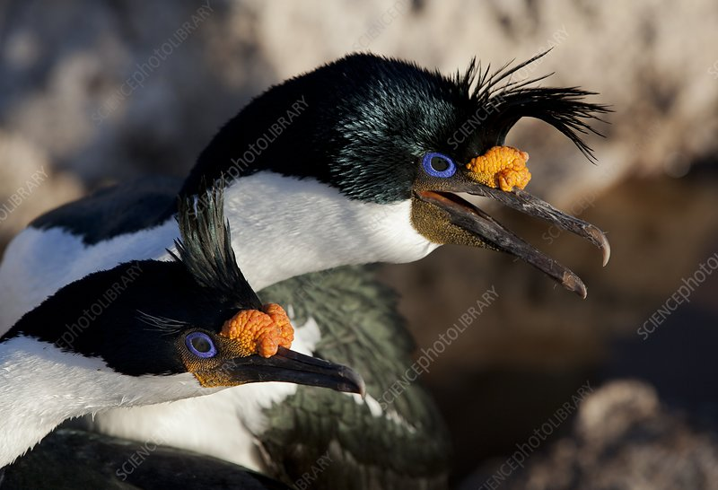 Imperial shag pair in breeding colours