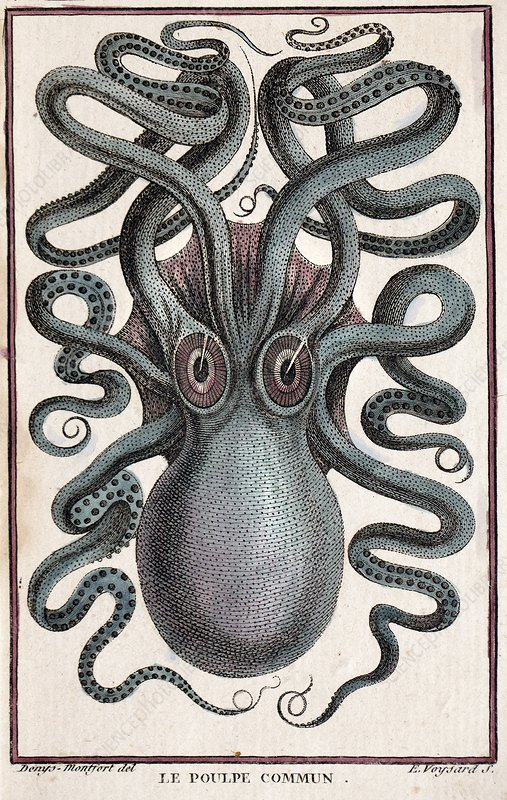 1801 Montfort octopus engraving colour