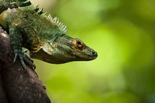Central American Green Iguana