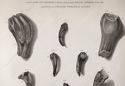 Discovery of Iguanodon fossil teeth, 1825