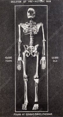 1903 Skeleton Cheddar Man Gough's Cave