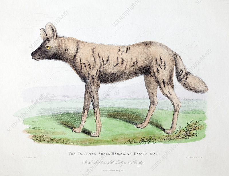 1830 First African Hunting Dog London zoo