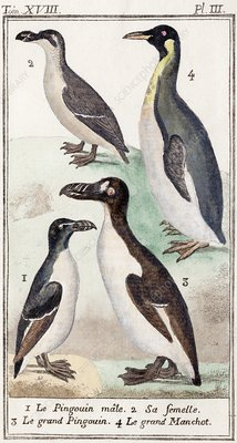 1787 Great Auk and penguin illustration