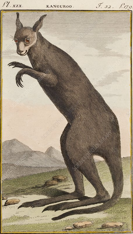 Kangaroo, 1790s illustration
