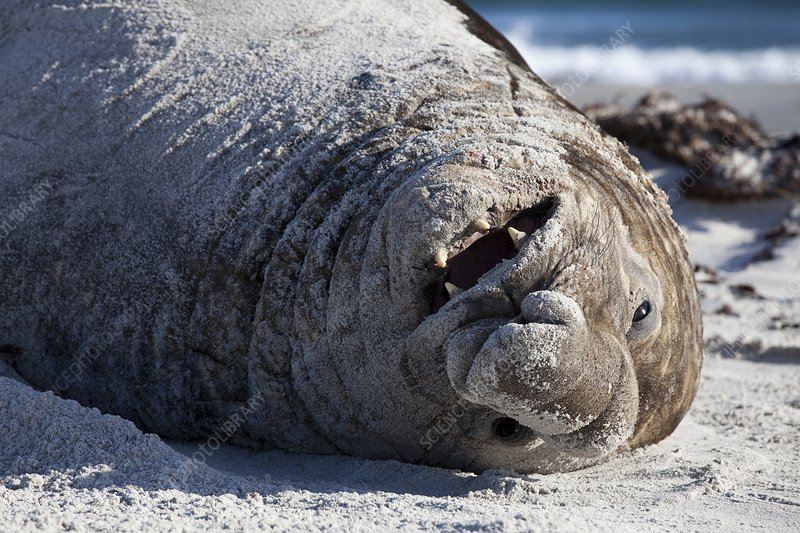 Obesity in animals a happy elephant seal