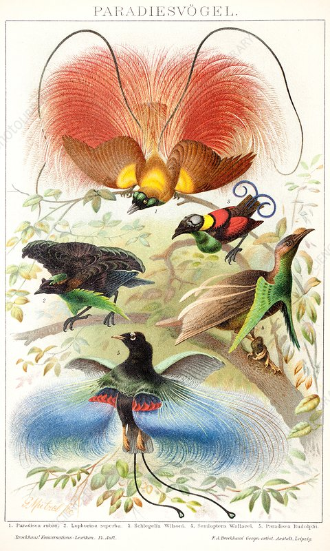1894 Bird of Paradise wrong display poses