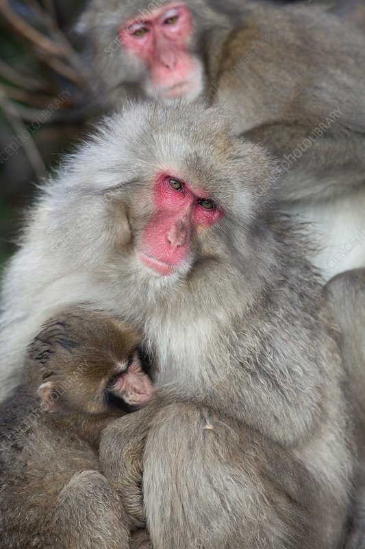 Japanese macaque monkey suckling baby