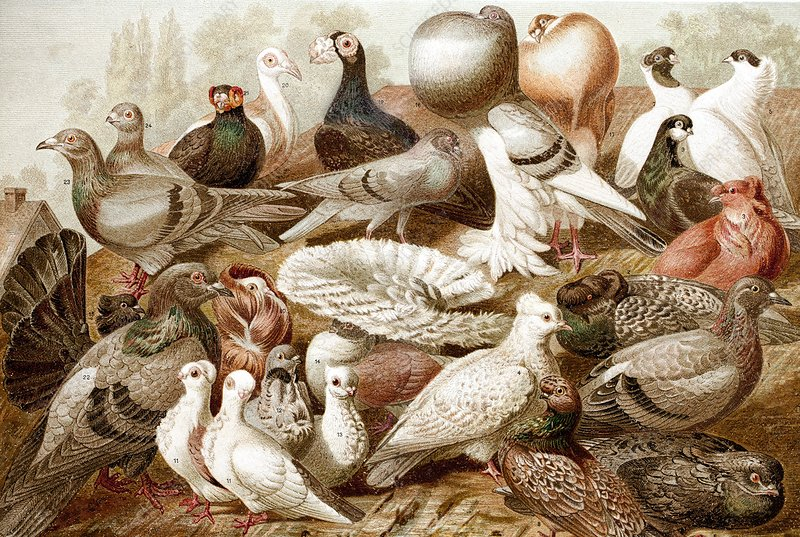 1870 Domestic fancy pigeon breeds Darwin