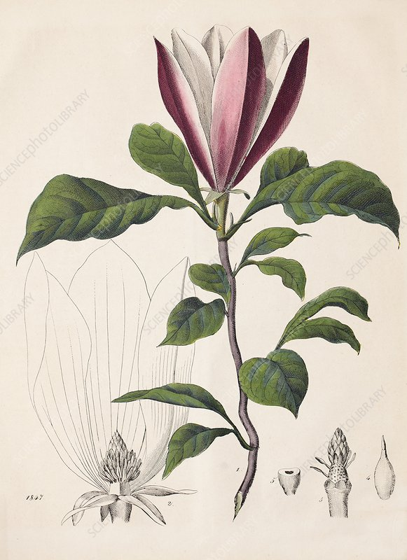 1847 Magnolia Primitive Flower bracts