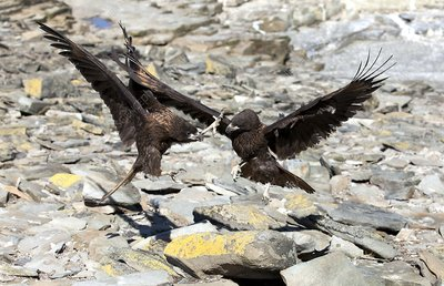 Johnny Rooks Fighting striated caracara