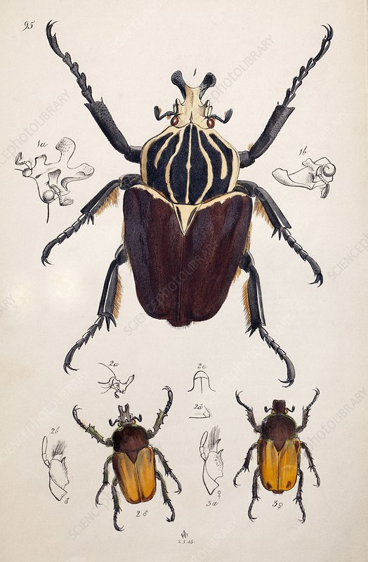 1845 Westwood Goliath Beetle painting