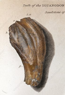 1825 Mantell First Iguanodon tooth colour