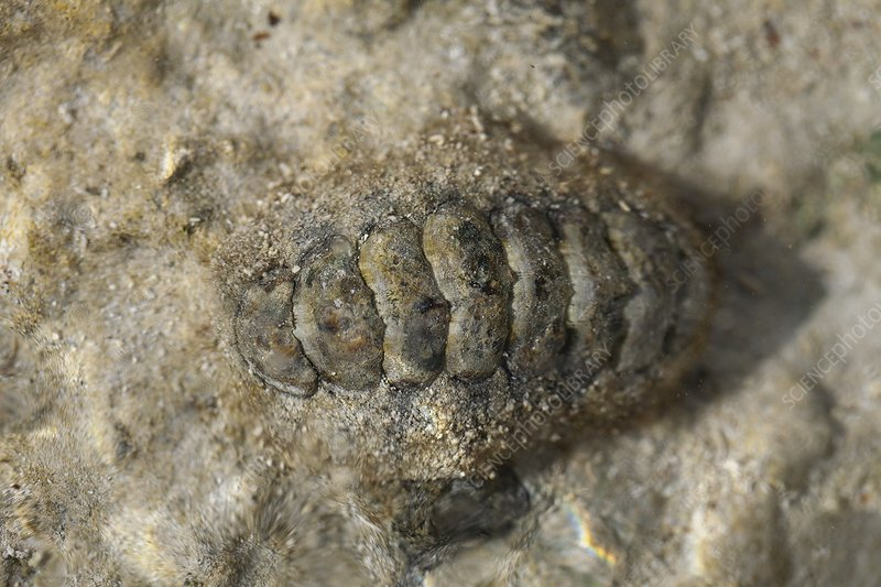 Chiton camouflage eye shallow coastal sea