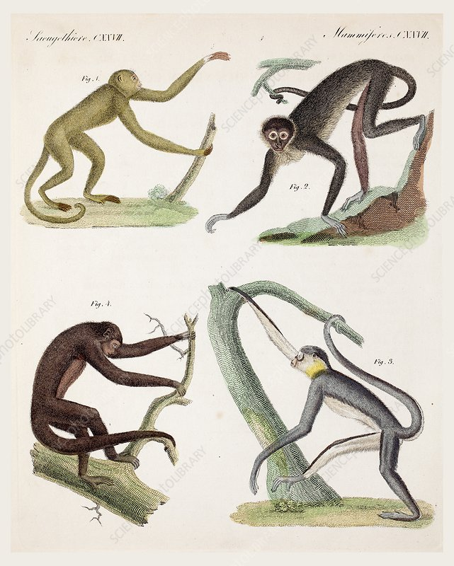 1820 New World Monkeys prehensile tail