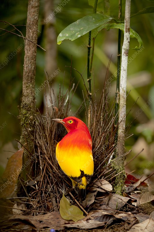 Flame Bowerbird in Bower animal art