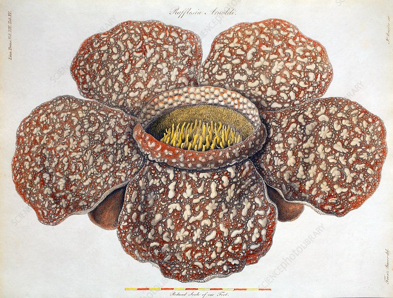1820 First description Rafflesia flower