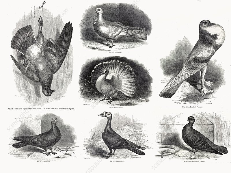 1868 darwin pigeon breeds illustration