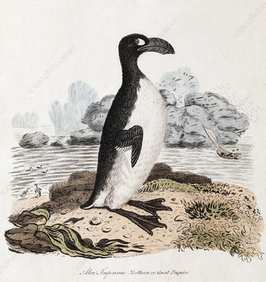 1819 Extinct Great Auk Illustration