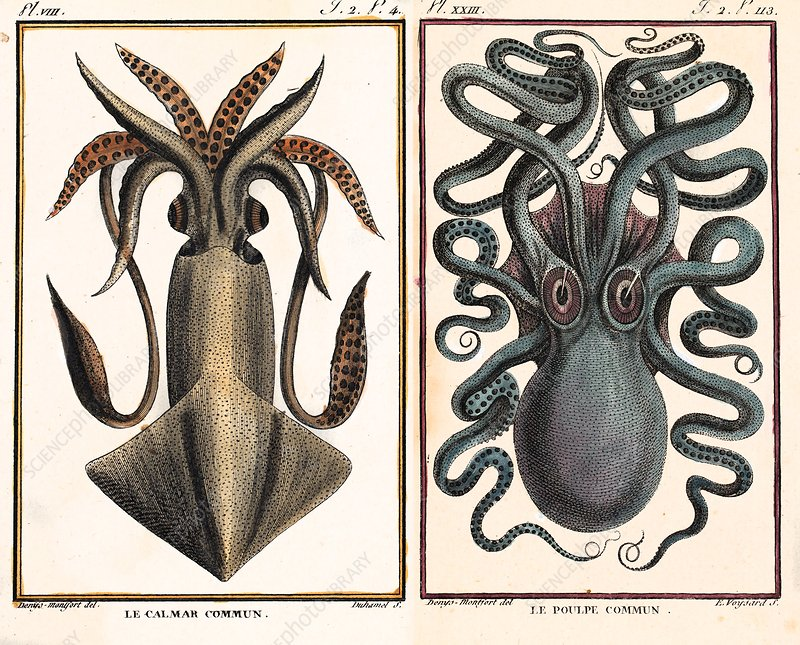 1801 Montfort squid octopus engraving
