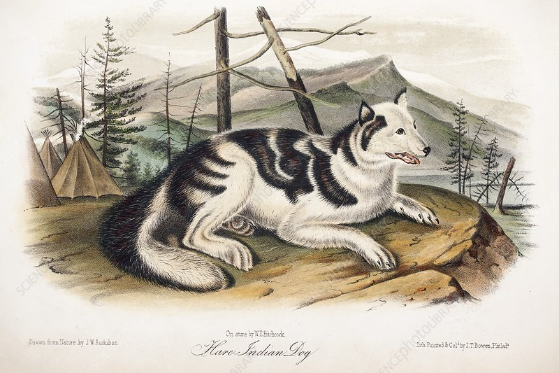 1846 Audubon extinct Hare dog breed