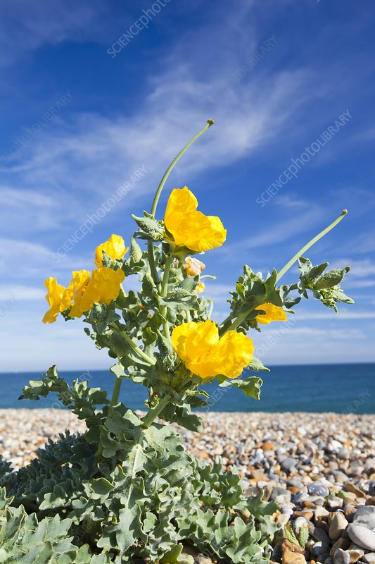 Yellow Horned Poppy (Glaucium flavum)