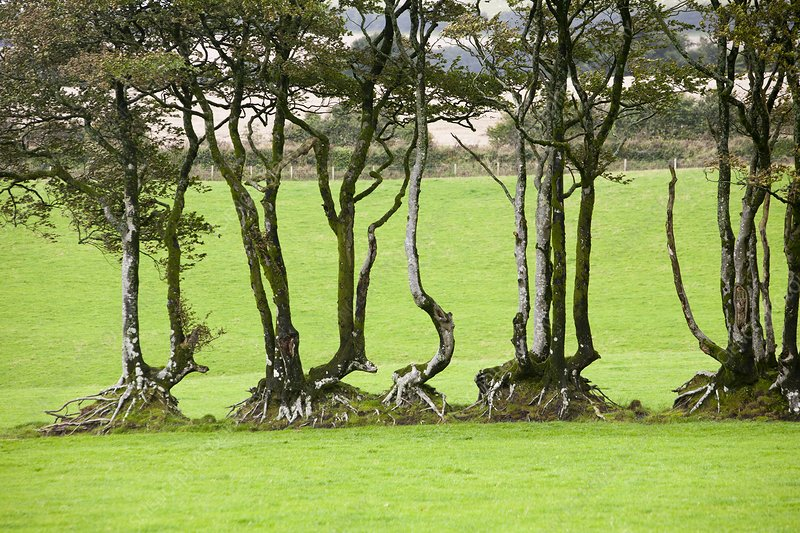 Ancient Beech hedgeline on Exmoor, UK