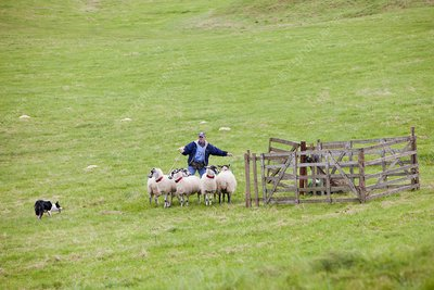 World sheep dog trials, UK