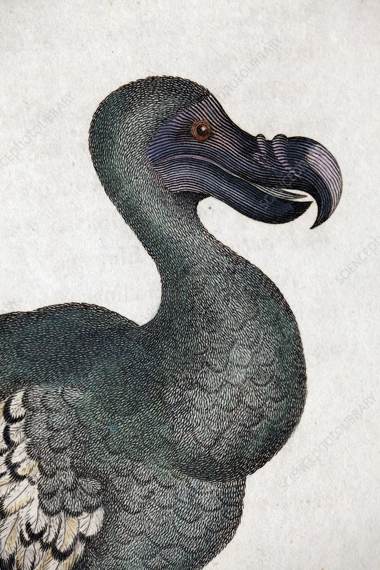 1809 Head of a Dodo in George Shaw