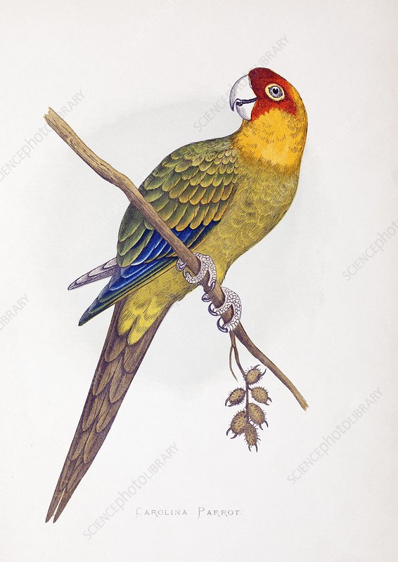 Extinct Carolina Parrot Parakeet America