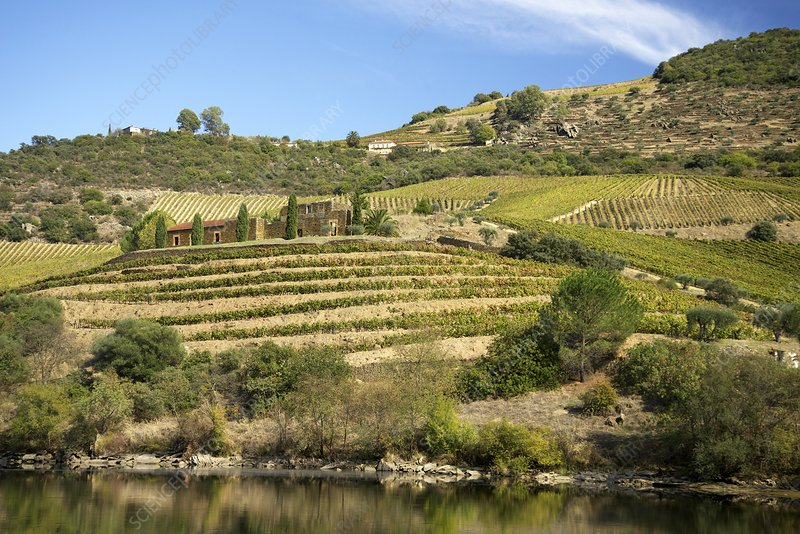 Vineyards next to the Douro River