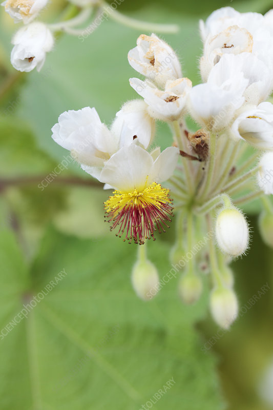 Cape stock-rose (Sparrmannia africana)