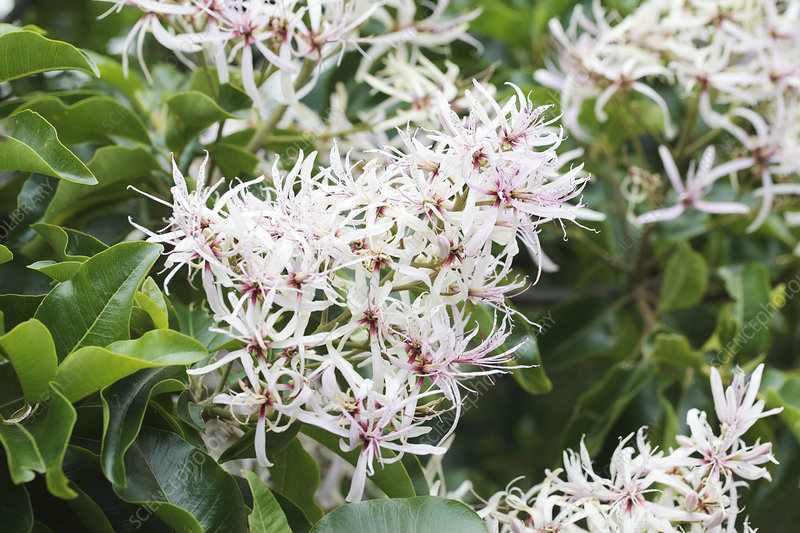 Cape chestnut (Calodendrum capense)